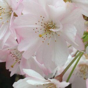 Körsbärsblomma i parken
