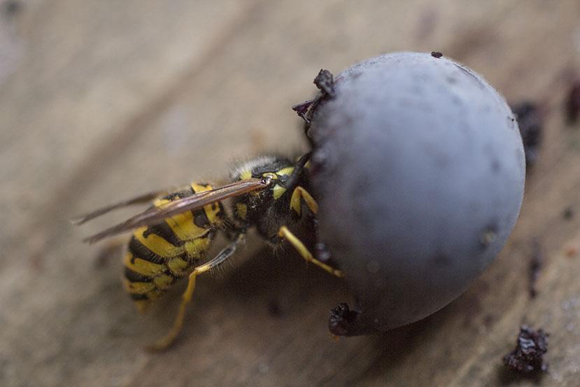 Wasp 4