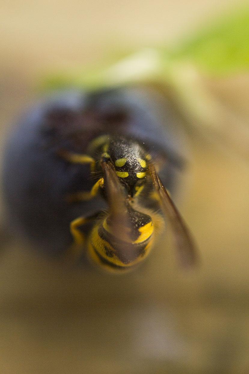 Wasp 6